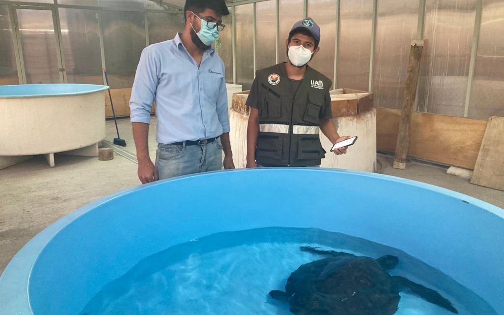 Exitoso rescate y traslado de tortuga marina realizaron Sernapesca, Municipalidad de Caldera y Universidad de Antofagasta.