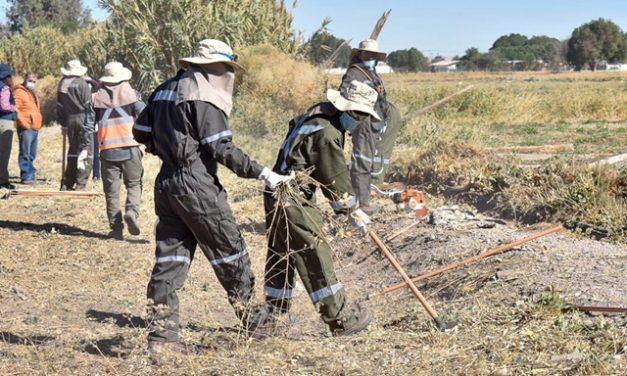 Programa Control Integrado ejecutado por INIA con empresa especializada limpian terrenos con Mostaza Negra