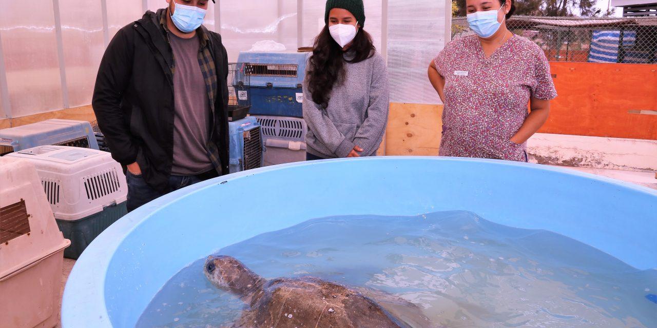 Tortugas rescatadas por centro de la UA estaban  intoxicadas con plástico y no podían sumergirse